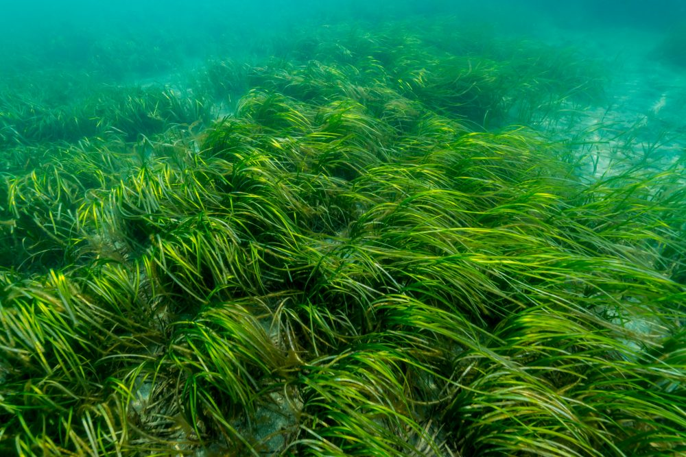 Seagrass & maerl